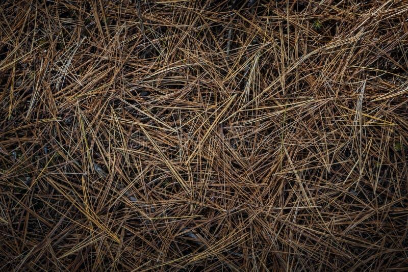 Aiguilles de pin sur le plancher de forêt photo stock