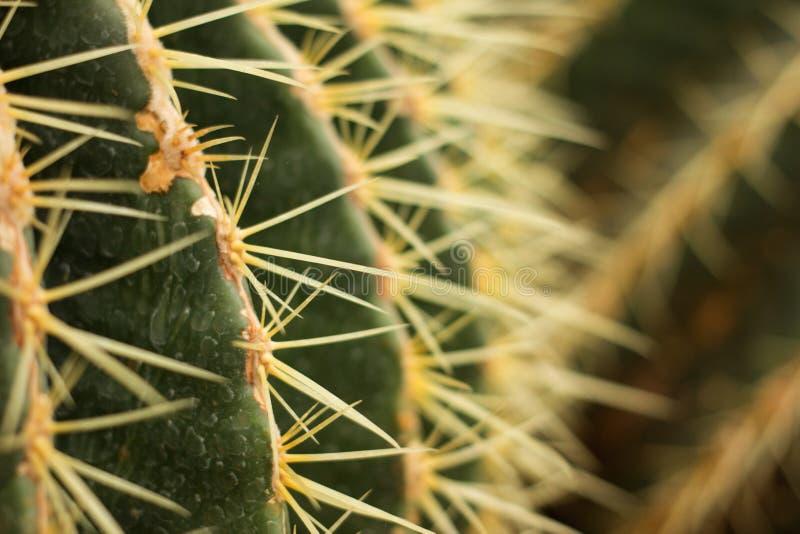 Aiguilles pointues de cactus de plan rapproché dans le désert photo stock