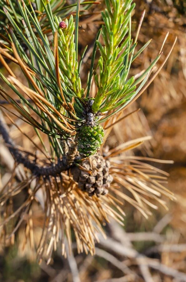 Aiguilles vertes de pin sur la branche sèche lumineux photographie stock libre de droits