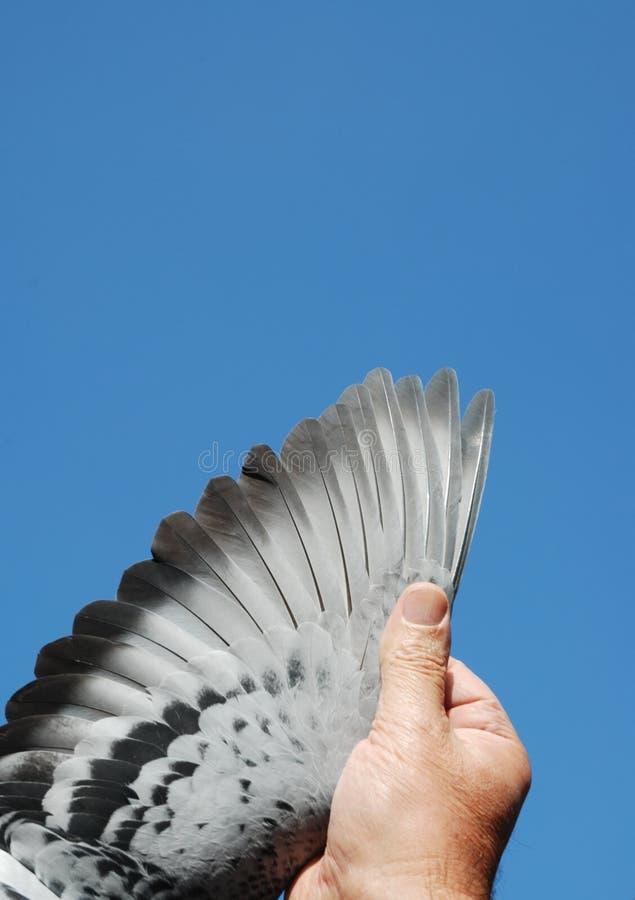 Aile de pigeon photographie stock