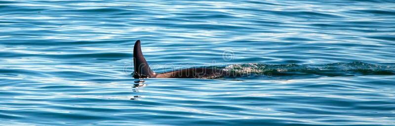 Aileron d'?paulard d'orque en parc national de fjords de Kenai dans Seward Alaska Etats-Unis image stock