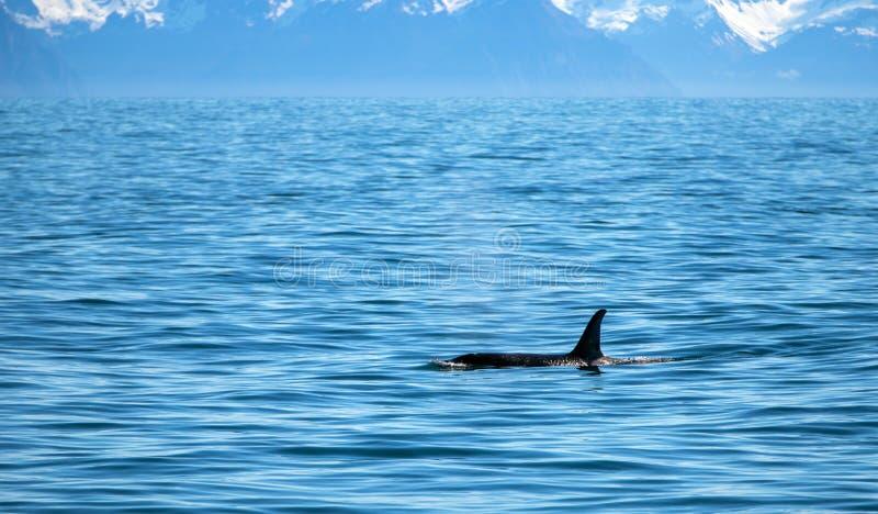 Aileron d'?paulard d'orque en parc national de fjords de Kenai dans Seward Alaska Etats-Unis photo stock