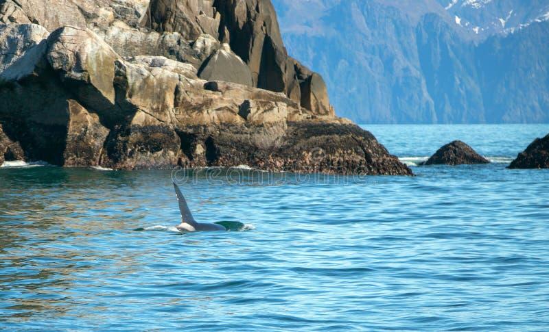 Aileron d'?paulard d'orque en parc national de fjords de Kenai dans Seward Alaska Etats-Unis photos stock