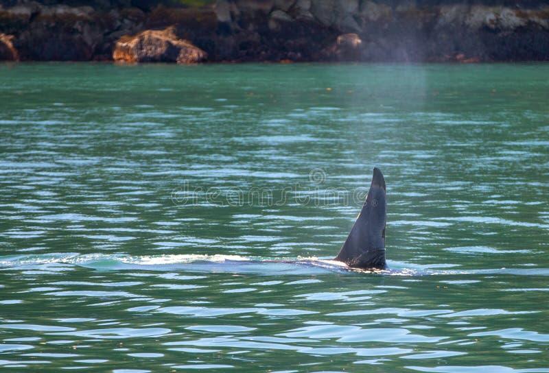Aileron d'?paulard d'orque en parc national de fjords de Kenai dans Seward Alaska Etats-Unis photo libre de droits