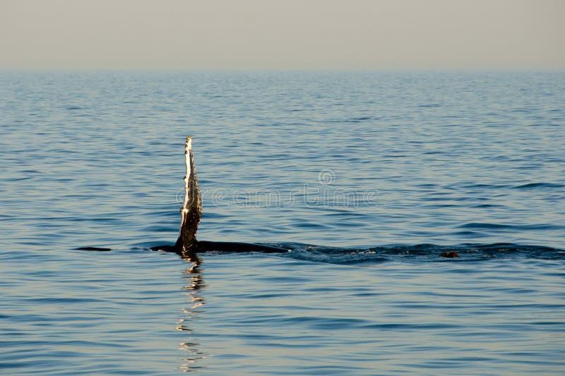Aileron de baleine de bosse photo libre de droits