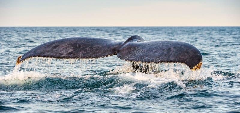 Aileron de queue de la baleine de bosse puissante au-dessus de la surface de l'océan Nom scientifique : Novaeangliae de Megaptera photos stock