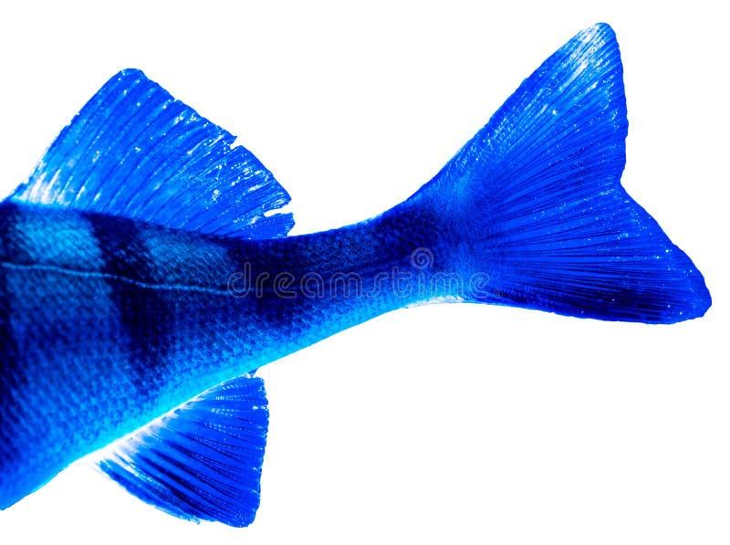 Ailerons de poissons de perche dans la couleur bleue d'isolement sur le fond blanc photo stock