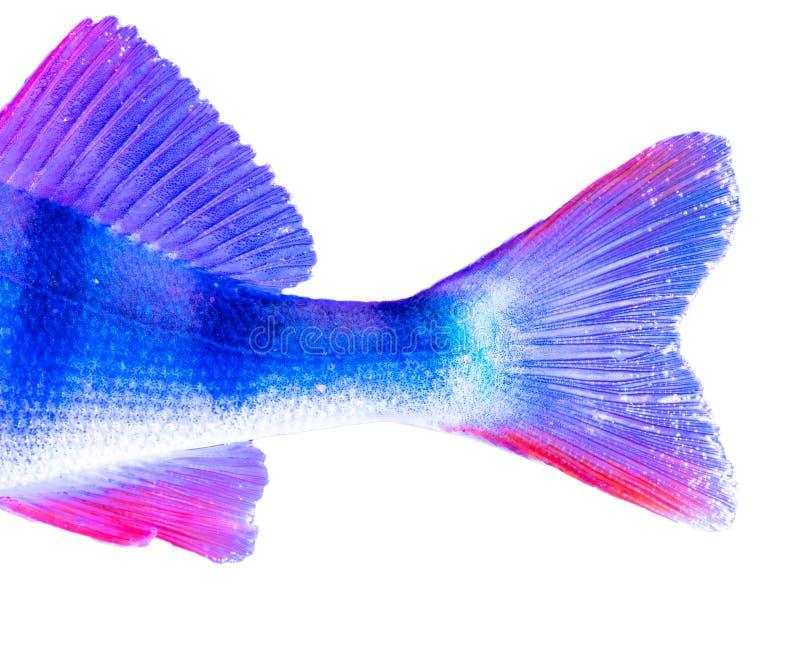 Ailerons de poissons de perche dans la couleur bleue et rose d'isolement sur le fond blanc photos stock