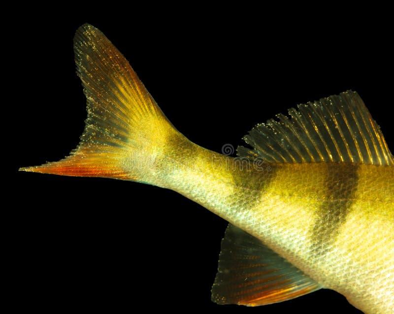 Ailerons de poissons de perche dans la couleur d'or d'isolement sur le fond noir images stock