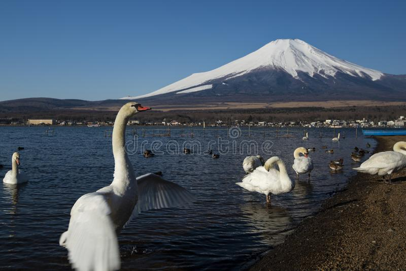 Ailes de battement de cygne et mont Fuji, Japon photo libre de droits