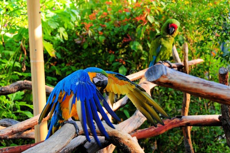 Ailes de battement de Macaw image libre de droits