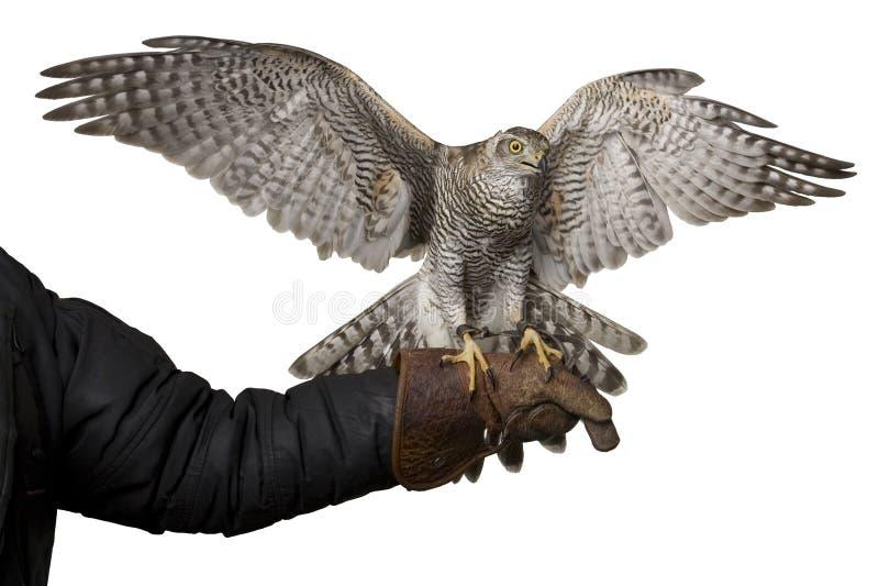 Ailes de propagation de faucon se reposant sur le gant en cuir, d'isolement sur le fond blanc images libres de droits