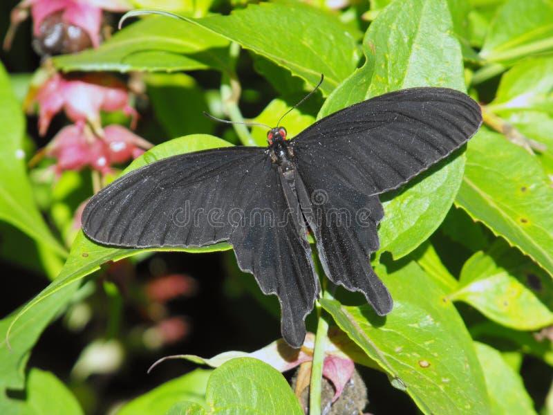 Ailes ouvertes communes de papillon de moulin à vent au repos photos libres de droits