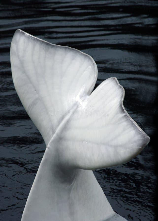 Ailette d'une baleine de beluga photo libre de droits