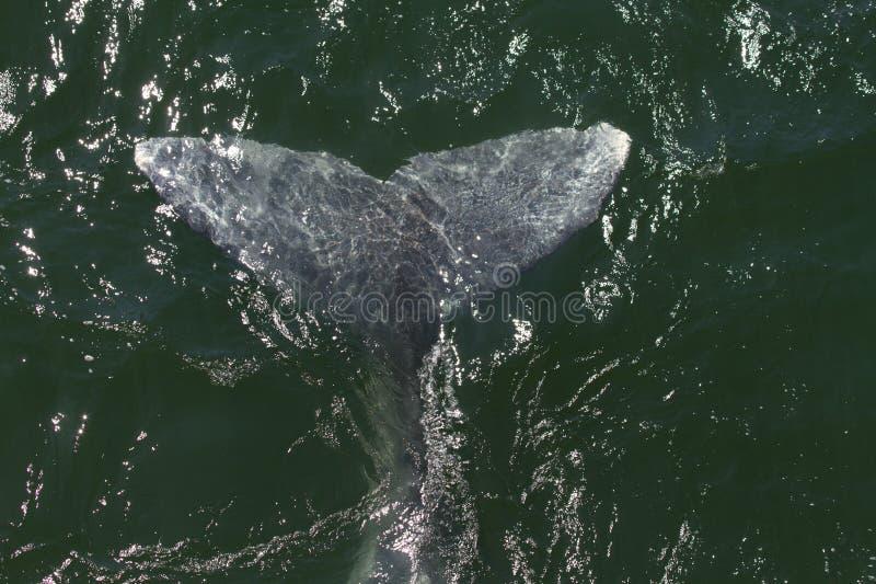 Ailette de baleine grise images libres de droits