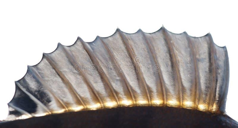 Ailette dorsale d'une perche photos stock