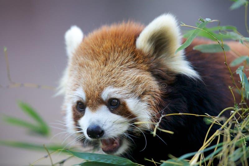 Download Ailurus fulgens stock image. Image of zoological, trunk - 17511541