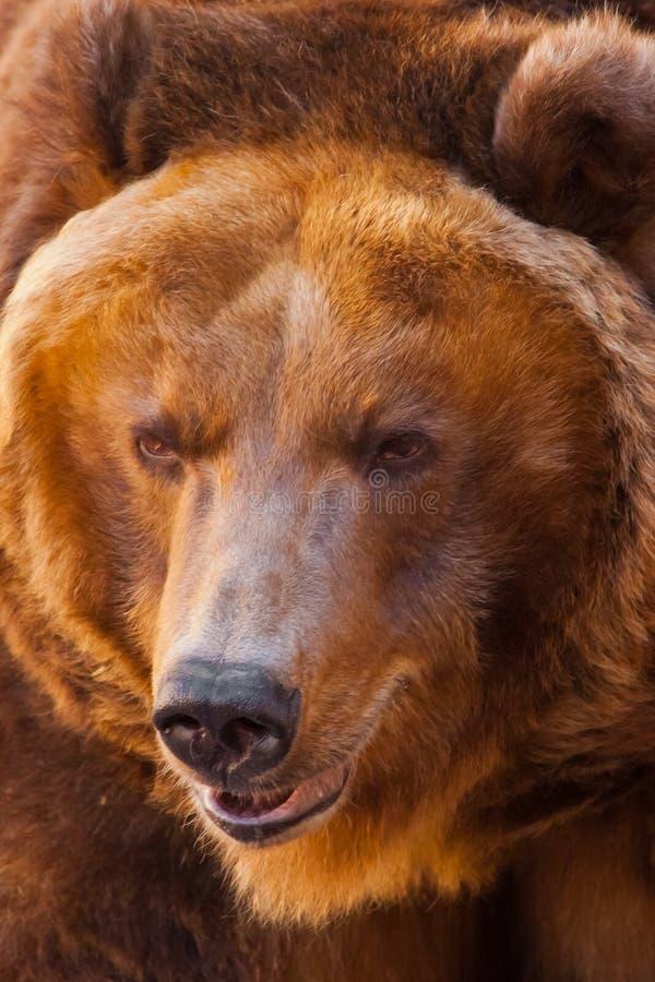a?aime Close-up poderoso enorme do urso marrom, animal forte em um fundo de pedra imagens de stock