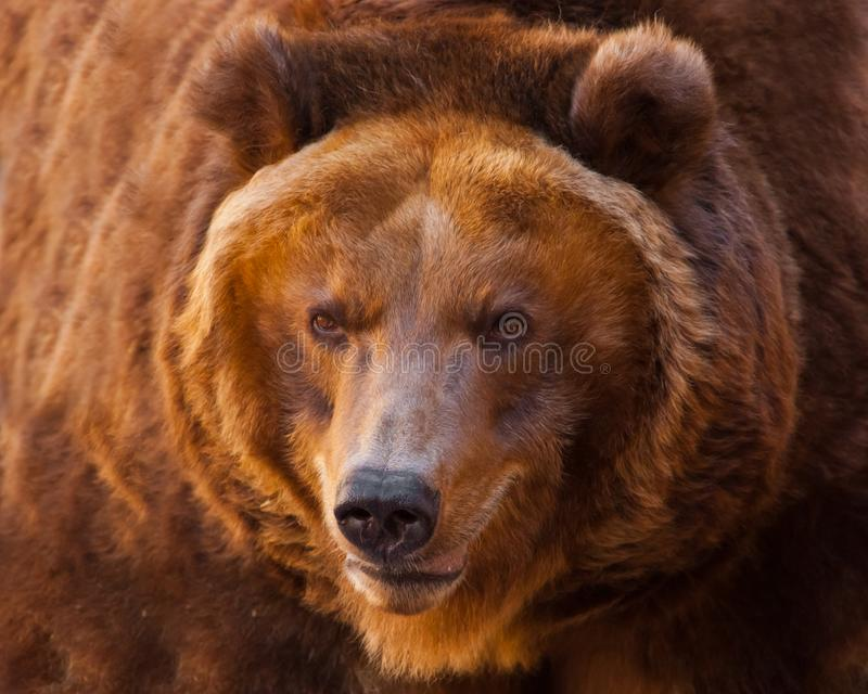 a?aime Um retrato de um urso enorme no quadro inteiro, o animal ? enorme e iluminado pelo sol Urso marrom poderoso enorme foto de stock