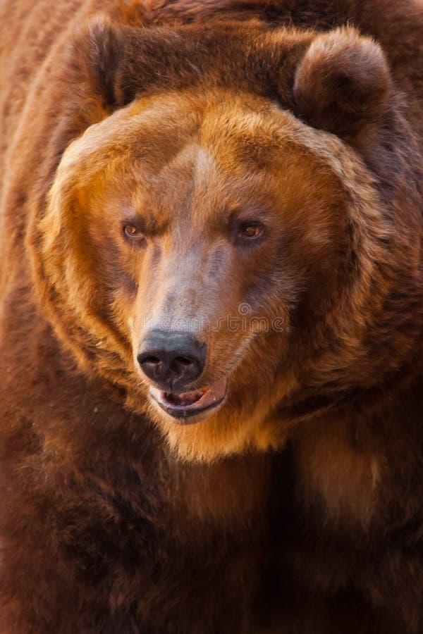 a?aime Um retrato de um urso enorme no quadro inteiro, o animal ? enorme e iluminado pelo sol Urso marrom poderoso enorme fotos de stock