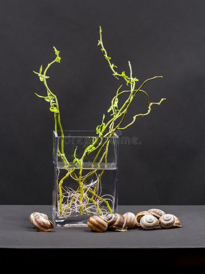 Ainda a composição da vida com salgueiro ramifica com folhas pequenas e raizes cor-de-rosa em um vaso transparente e em shell do  fotos de stock royalty free