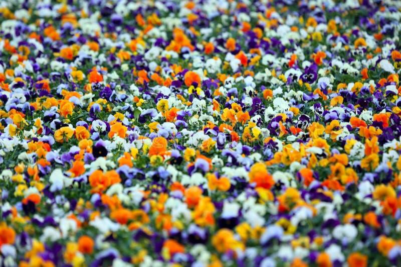 Aiola con differenti viole del pensiero dei fiori immagini stock