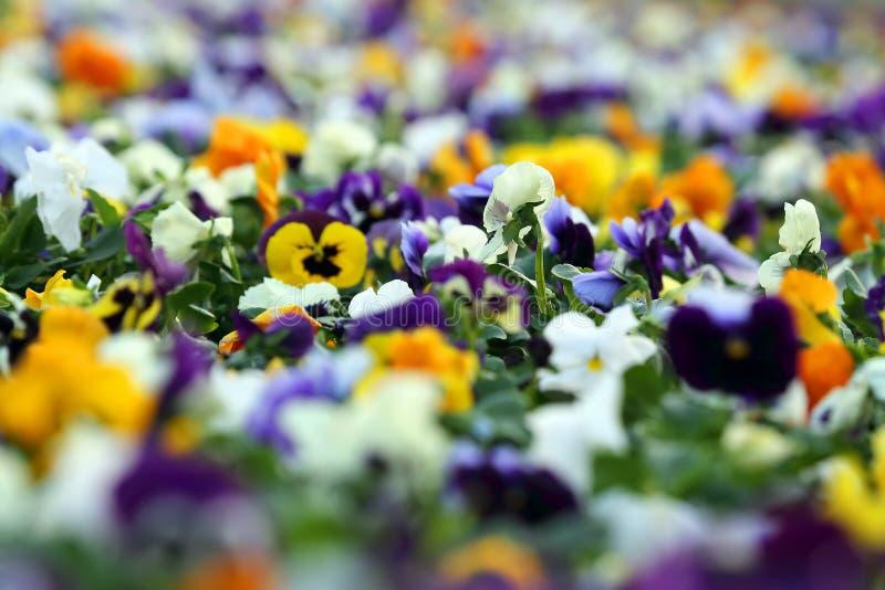 Aiola con differenti viole del pensiero dei fiori fotografie stock