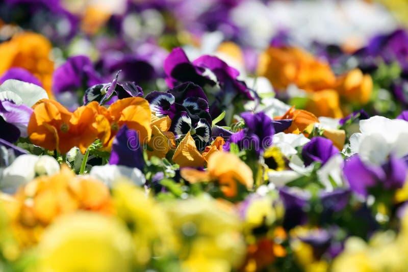 Aiola con differenti viole del pensiero dei fiori fotografia stock libera da diritti