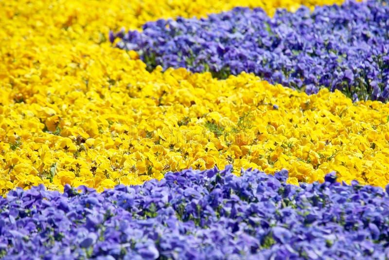 Aiola con differenti viole del pensiero dei fiori fotografie stock libere da diritti