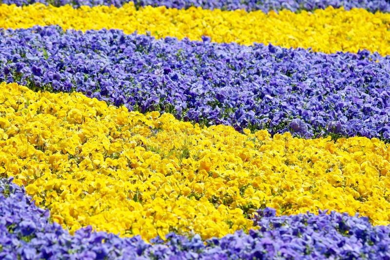 Aiola con differenti viole del pensiero dei fiori immagini stock libere da diritti