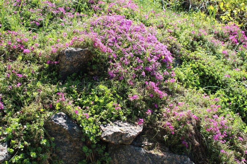 Aiola con Sedum Spurium e flox Subulata fotografie stock libere da diritti