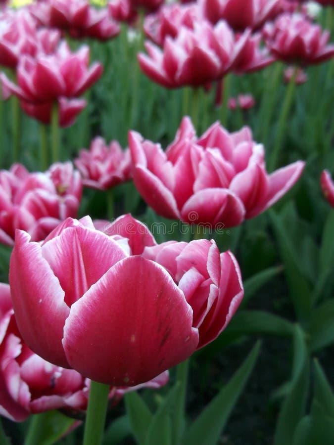 Aiola dei tulipani rosa luminosi, vista laterale della distanza fotografie stock libere da diritti