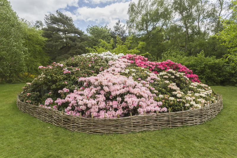 Download Aiola Del Rododendro, Isabella Plantation, Richmond Park Immagine Stock - Immagine di rododendri, aperto: 56887537