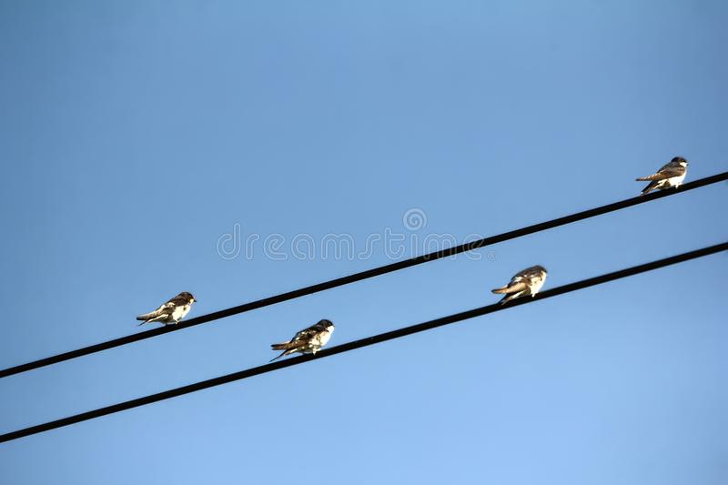 House martins on power lines in autumn stock images
