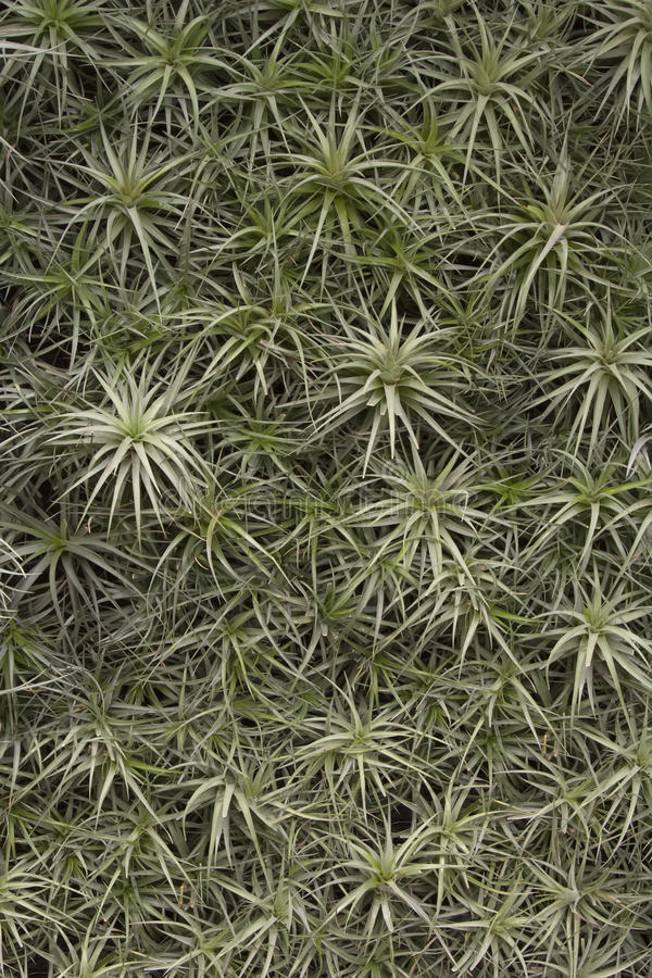 Air Plant Background royalty free stock photos