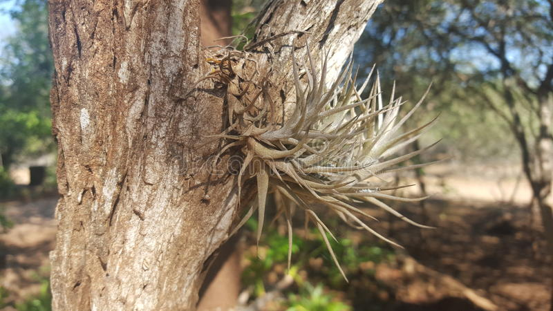 Air Plant royalty free stock photography