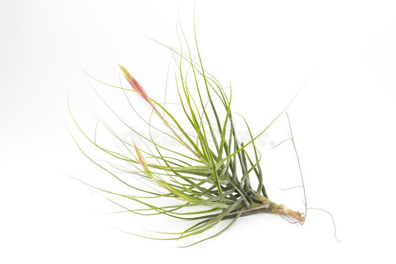 Air plant Tillandsia isolated white background royalty free stock photography