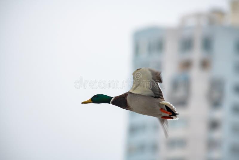 Air sauvage de canard de mouche de ville masculine de nature photographie stock libre de droits