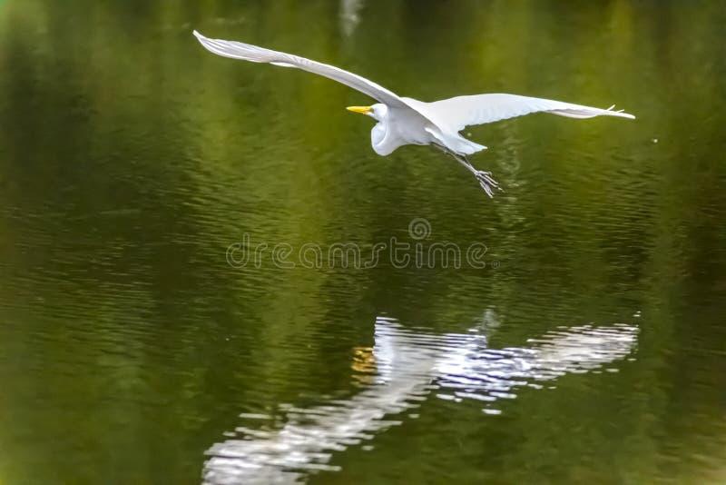 Airborne American Egret fotografia stock libera da diritti
