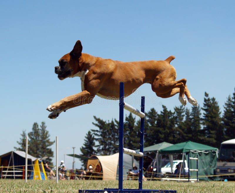 Airborne Boxer royalty free stock photos