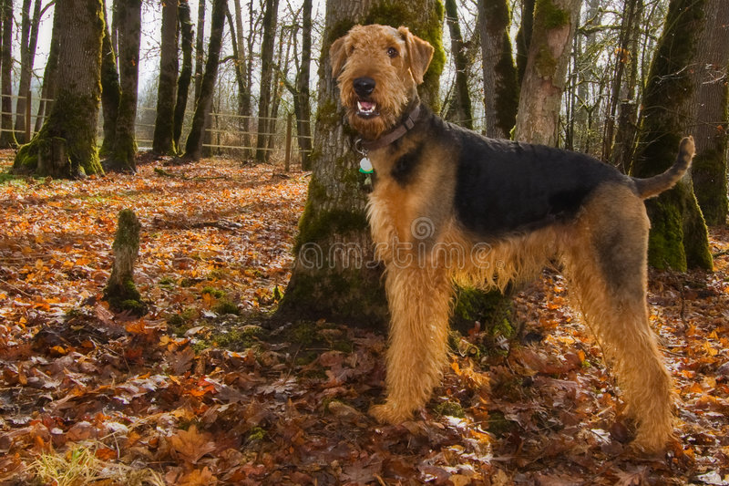 airdale jesień psa szczęśliwy położenia terier zdjęcie royalty free