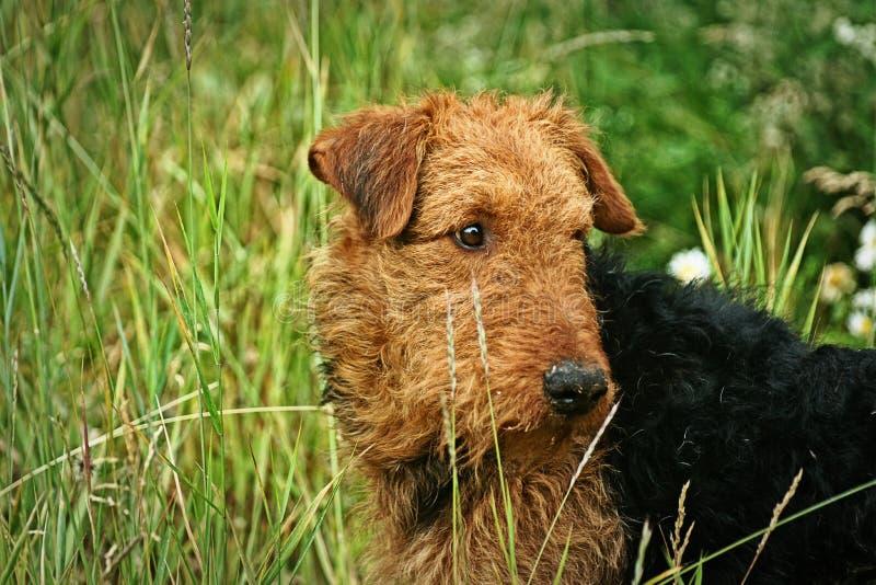Airdale-Terrier stockfoto