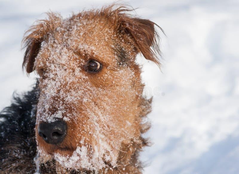 Airdale Terrier - Blizzard-Schnee-Porträt lizenzfreie stockfotos