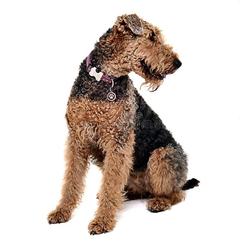 Airdale Terrier, das n ein weißes Studio schaut recht sitzt lizenzfreie stockbilder
