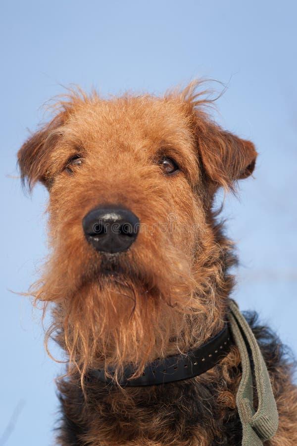 Airdale Terrier - gegen einen blauen Himmel lizenzfreies stockbild