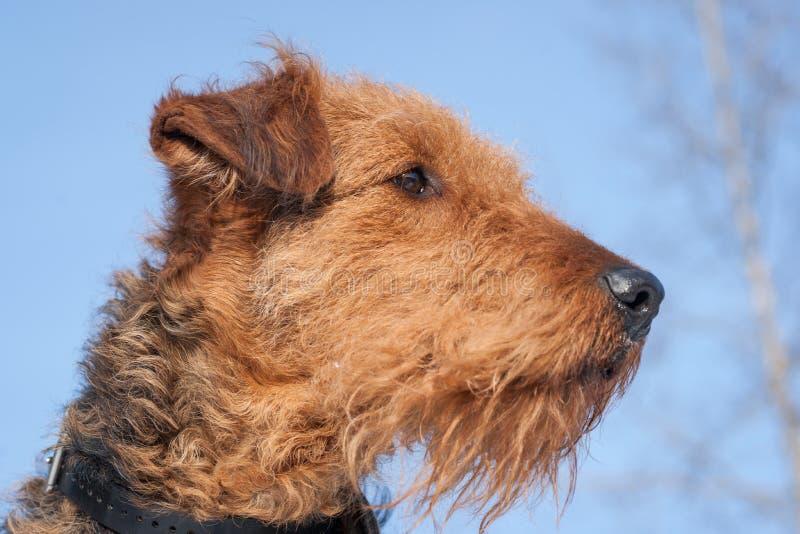 Airdale Terrier - gegen einen blauen Himmel stockfoto