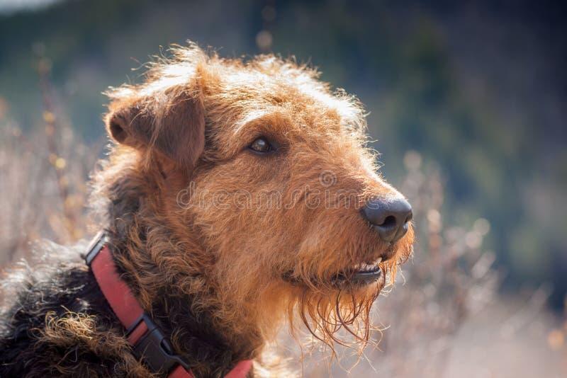 Airdale Terrier portret z Backlight obrazy stock