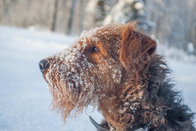 Airdale Terrier Profile in the Snow stock photo