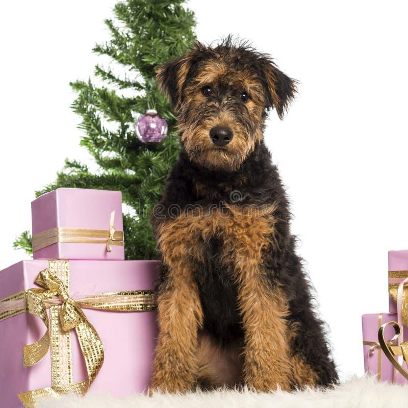 Airdale Terrier Welpensitzen lizenzfreie stockfotos