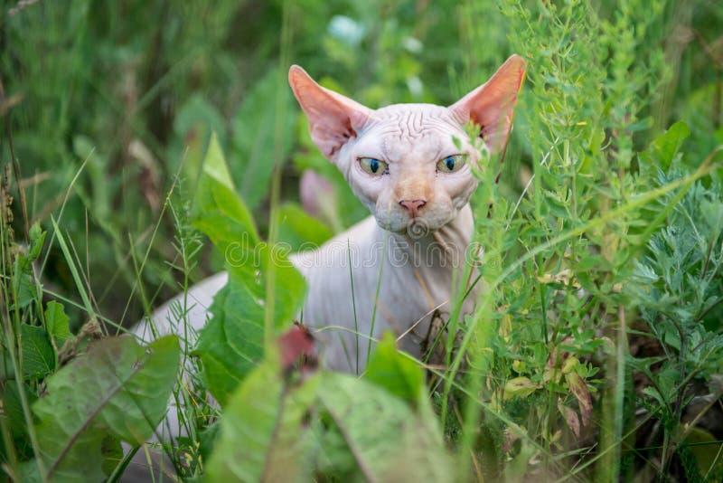 Aire libre del gato de Sphynx foto de archivo libre de regalías